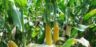 El Huila aumentó la adopción de cultivos genéticamente modificados en 2011.