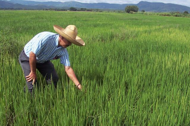 foto arroz cultivo