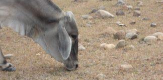 El ganado de Villavieja ya no tiene que comer. ¿Podrán soportar seis meses más del Fenómeno del Niño? Fotos Tatiana Merchán
