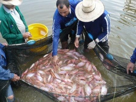 Según lo expresado por el Presidente del Capítulo Surcolombiano de Fedeacua, la producción piscícola para Semana Santa se mantuvo en buen nivel.