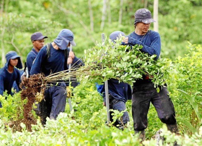 Se ha erradicado 62 % de 50 mil hectáreas de coca: Mindefensa