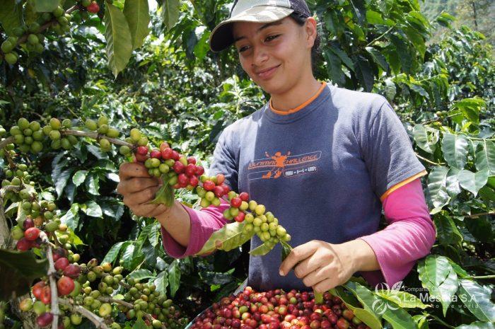 Fuerte repunte de la producción de café en septiembre, creció un 19%