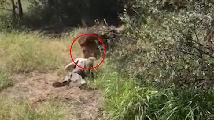 Un león ataca a un hombre ante el público horrorizado — Fuertes imágenes
