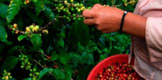 El valor de la cosecha cafetera llegó en 2019, a los $6,5 billones.
