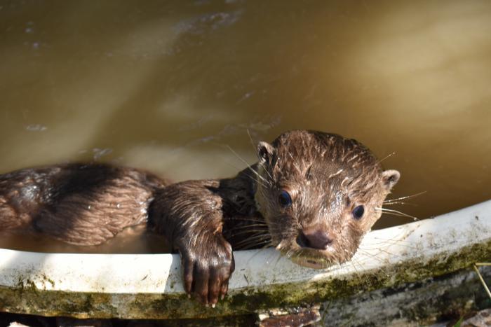 La nutria de río, una especie objeto de conservación 1 14 agosto, 2020