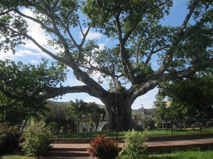 Se desplomó La Ceiba de Gigante, un símbolo de libertad 7 21 mayo, 2021